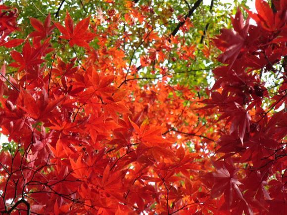 弥彦公園紅葉