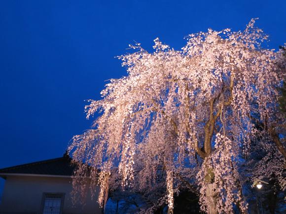 高田公園の夜桜