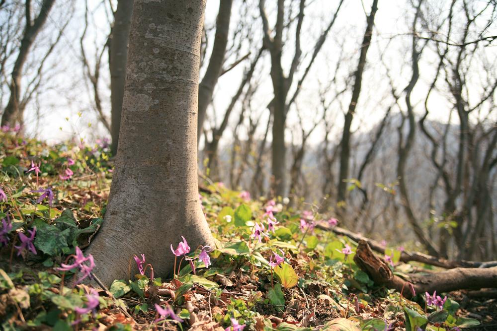 ブナの木とカタクリ